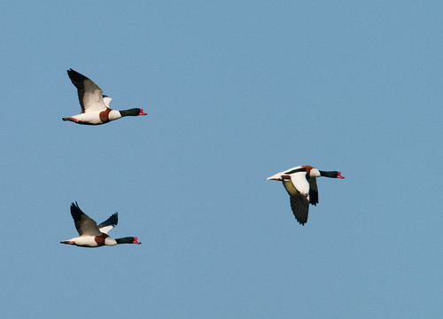 shelducks in flight