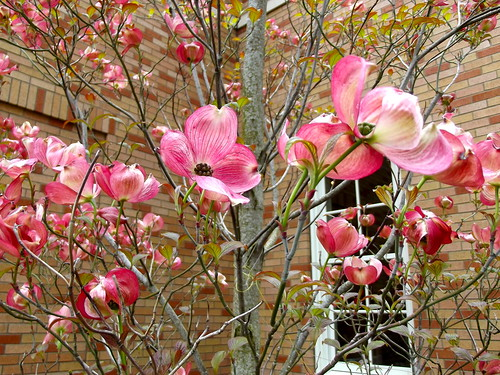Pink Blossoms at The Commons