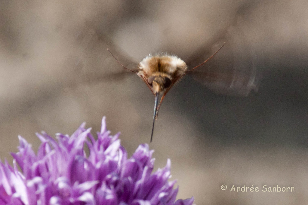 Greater Bee Fly (Bombylius major)-17-1.jpg