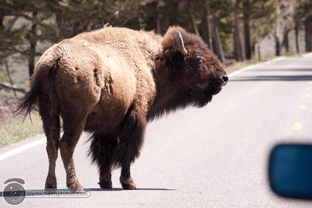 Yellowstone Day 1 52611 © Michael Klayman-035