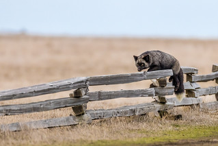 Silver Fox Jumping a Fence (Explored)