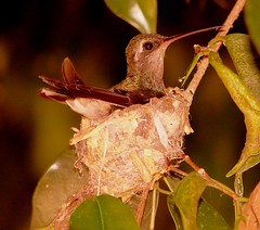 Hummingbird (nasa_24) Tags: hummingbird nest babybirds