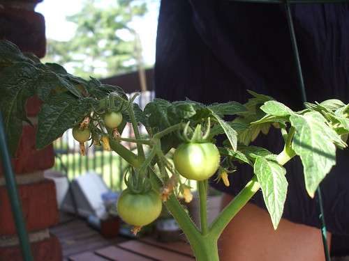 patio tomatoes