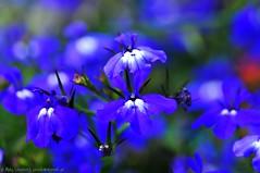 Fuzzy blue (nikkorglass) Tags: blue flower macro closeup nikon fuzzy sweden july micro blomma sverige juli nikkor 2009 f28 vr lobelia blå d300 närbild singintheblues suddig 105mmvr nikkorglass lobelioideae vosplusbellesphotos