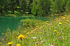 (upsa-daisy) Tags: summer alps schweiz switzerland suisse sommer alpen svizzera albula preda graubünden grisons grigioni laidapalpuogna palpuognasee