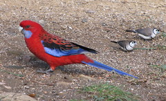Crimson Rosella and Finches (Christine cannot access new website properly) Tags: australia finch rosella crimsonrosella platycercuselegans doublebarredfinch bathurstnsw poephilabichenovii