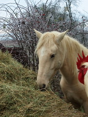 28-10-08 13-25-15PHIer (Eric PHILIPPE) Tags: nature cheval pigeon poule animaux canard lapin plume oie poney jument équitation équestre pintade bassecour ericphilippe animauxnosamis animauxsauvagesanimauxdomestiques