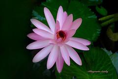 Nenfar/Water Lily (Altagracia Aristy) Tags: amrica dominicanrepublic lila tropic caribbean nymphaea antilles caribe nenfar repblicadominicana ninfea trpico antillas quisqueya fujif40fd fujif40 fujifilmfinepixf40fd liladeagua altagraciaaristy carabi