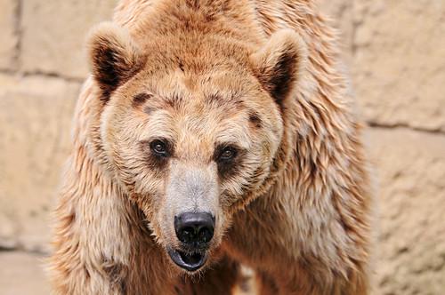 フリー写真素材, 動物, 哺乳類, クマ科, 熊・クマ, ヒグマ,