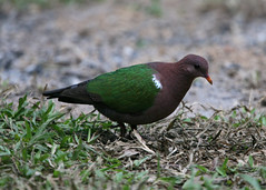 Emerald Dove (Greg Miles) Tags: australia queensland emeralddove chalcophapsindica abergowriestateforest broadwatercreek