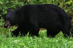Black Bear at Great Smoky Mtns. National Park (Rachel Pennington) Tags: bear blackbear clingmansdome ursusamericanus rachelpennington americanblackbear northamericanblackbear greatsmokymtnsnationalpark