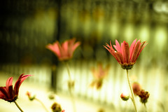 Two men look out the same prison bars; one sees mud and the other stars. (harold.lloyd) Tags: flowers red green bars gate bokeh prison gerbera 50mmf14 stripy probablyusedapresetbutcantrememberatm shallchecklater