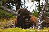 ADS_USA_000004138 (dickysingh) Tags: travel wild usa india west mammal buffalo tour cattle outdoor wildlife roadtrip aditya yellowstonenationalpark yellowstone bison singh americanbison dicky adityasingh ranthamborebagh theranthambhorebagh wwwranthambhorecom