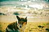 listen to the sound of sea breeze (moaan) Tags: leica sea summer dog beach glitter digital 50mm corgi dof shine wind bokeh august f10 sparkle shore utata m8 ripples noctilux breeze welshcorgi 2009 glisten wavelets endofaugust explored pochiko leicam8 leicanoctilux50mmf10 ripplingwaves gettyimagesjapanq1 gettyimagesjapanq2