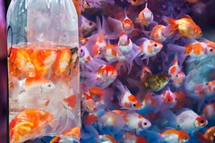 fish kingdom with outsiders (samthe8th) Tags: color hongkong goldfish sam hong kong hero winner mongkok fishmarket princeedwardstation flickrchallengegroup flickrchallengewinner thepinnaclehof tphofweek9 shmedal fcgdone