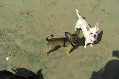Teddy and ZuZu (cerberus_arstd) Tags: dog chihuahua cute beach dogs puppy puppies huntington chihuahuas zuzu cujo