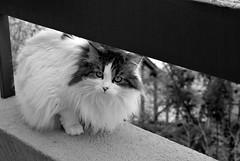 The Masked Lady Cat Reappears!!!! (LinoPhilippe) Tags: chile santiago cats cat nikon kitten feline chat kitty gatos gato felino katze nikkor gatto katzen kot matou chatte chaton  d60  hauskatze  felidi 1855mmf3556gvr