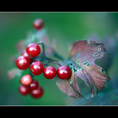 The colours of Autumn (JannaPham) Tags: life new autumn red flower macro green dedication canon garden eos golden berry bravo friendship bokeh moscow gorgeous young beginning mature 5d markii project365 happy thursday 102365 hggt jannapham