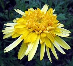 Pure Gold - double daisy (Mary Faith.) Tags: light summer sun plant flower colour macro art nature garden gold design spring bright curves curls hobby daisy bloom splash puregold newgoldenseal