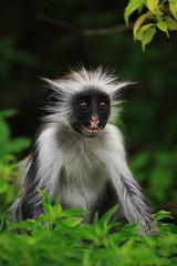 Red Colobus Monkey (felt_tip_felon®) Tags: africa safari zanzibar endangered jozaniforest redcolobusmonkey