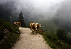 You can find them everywhere (*Glueckskind*) Tags: mountain nature berg germany bayern deutschland bavaria four cows 4 natur oberbayern vier jenner khe weg thefantasticfour berchtesgadenerland topseven canon40d platinumheartaward