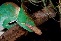Calumma parsonii - Parson's Chameleon (Thor Hakonsen) Tags: chameleon kameleon håkonsen reptiler chamaleo parsonschameleon thorhakonsen nikond700 parsonskameleon wwwthorhakonsencom calummaparsonii nikonafs60mmf28micro