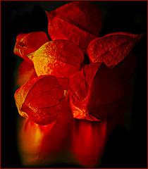 My favorite color is ???...;o)) (scorpion (13)) Tags: autumn winter friends red fab black nature beauty garden cherry searchthebest chinese lantern today soe lampions tistheseason cubism otw bej mywinner abigfave worldbest platinumphoto anawesomeshot crystalaward diamondclassphotographer flickrdiamond citrit everydayissunday goldstaraward rubyphotographer gr8photos