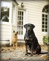 Tela and Hutch (dog ma) Tags: autumn pets fall dogs 50mm nikon dof hutch nikkor dogma petportrait tela greatdogs impressedbeauty d700 mixbreeds thepinnaclehof tphofweek17