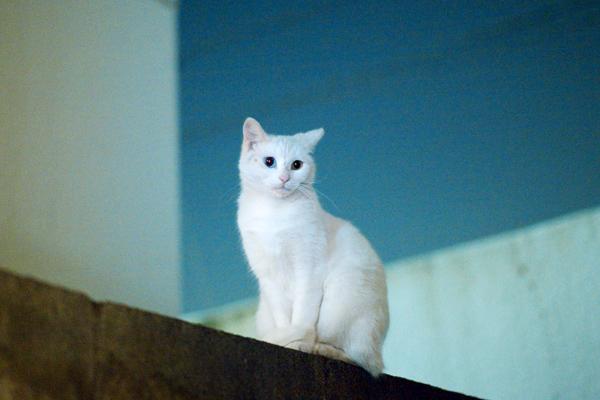 Odd eye Cat 8