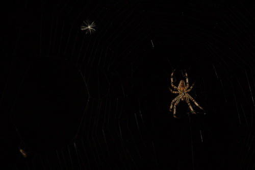 Spider in the Nighttime