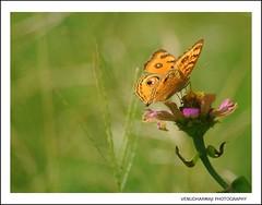 Beauty in the Light! (Venu Dharmaji (a bit busy...)) Tags: nature animal animals butterfly garden nikon sigma hyderabad hpc apps osmania andhrapradesh greatnature nikond60 sigma70300mmapodgmacro peacockpansy osmanialandscapegarden