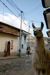 Recoleta llama (Elias Gardner) Tags: peru southamerica cuzco cusco llama telephonewires