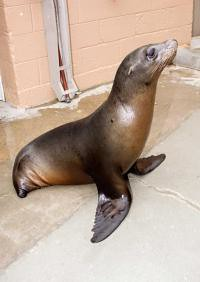 sealion without rear flippers