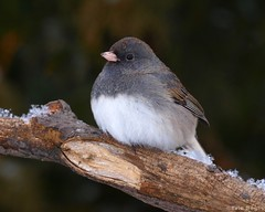 Junco ardois / Dark-eyed Junco (Eric Bgin) Tags: bird nature wildlife junco olympus ornithology oiseau darkeyedjunco sigma135400mm ornithologie specanimal anawesomeshot e520 juncoardois avianexcellence ericbegin goldstaraward vosplusbellesphotos