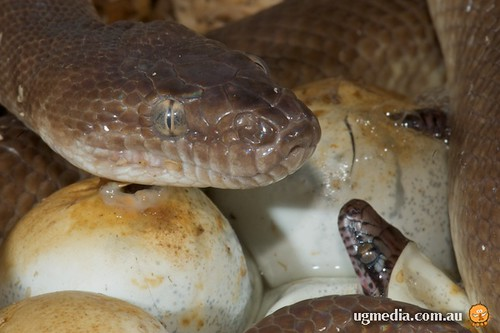 Children's python (Antaresia childreni) and eggs
