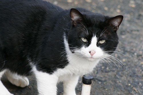 anonymous tuxedo cat, a feral tom cat