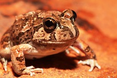 Spencer's Burrowing Frog (Opisthodon spenceri), Simpsons Gap, West MacDonnell NP, Central Australia. (Michael J. Barritt) Tags: simpsonsgap centralaustralia westmacdonnellnationalpark spencersburrowingfrog michaelbarritt karenmay platyplectrumspenceri michaeljbarritt
