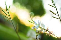 we were born before the wind (s o u t h e n) Tags: flowers sunset sun flower nikon dof bokeh ryan depthoffield nikkor blooming shallowdepthoffield tiltshift 2011 southen ryansouthen d700 nikond700 ryansouthenphotography 45mm28tiltshift nikkor45mm28tiltshift