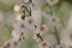 ume (snowshoe hare*) Tags: plumblossoms japaneseapricot kitanotenmangushrine kyoto flowers 白梅 梅 北野天満宮 dsc0301