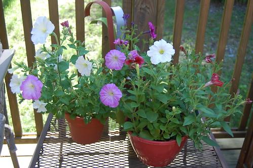 petunia patio pots