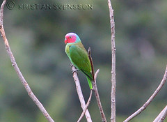 Red-cheeked Parrot (Geoffroyus geoffroyi cyanicollis) (macronyx) Tags: bird nature birds indonesia asia wildlife birding parrot aves halmahera redcheekedparrot geoffroyus geoffroyusgeoffroyi geoffroyusgeoffroyicyanicollis