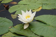 WATER LILY (ROSEYBUD) Tags: white flower water leaves lily naturesfinest
