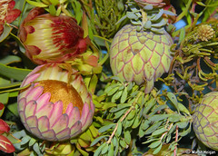 Protea flowers (Martin_Heigan) Tags: camera flower nature digital southafrica nikon close martin kirstenbosch photograph cape buds d200 dslr 2009 protea royalhorticulturalsociety proteas chelseaflowershow proteaceae suidafrika hantam 18200mmf3556gvr suikerbos blomme nikonstunninggallery heigan wsnbg mhsetproteas mhsetflowers goldwinner southafricaexhibit southafricanexhibit 2august2009