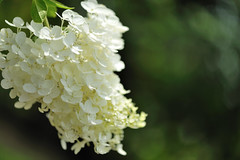 Hydrangea paniculata (myu-myu) Tags: summer fab white flower nature japan nikon hydrangea nikkor mygarden  hydrangeapaniculata  d700 diamondclassphotographer citrit nikkor105mmf28gvrmicro fleursetnature goldstaraward vosplusbellesphotos