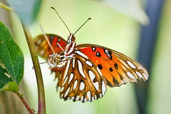 Gulf Fritillary laying an egg (tab.itha) Tags: macro nature butterfly gulffritillary layingegg 100mm28macro canonrebelxti