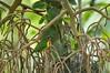 Pipreola frontalis squamipectus (juanchalco) Tags: peru birds fbwnewbird fbwadded pipreola pipreolafrontalis scarletbreastedfruiteater pipreolafrontalissquamipectus