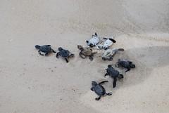 Baby turtles Lankayan Island