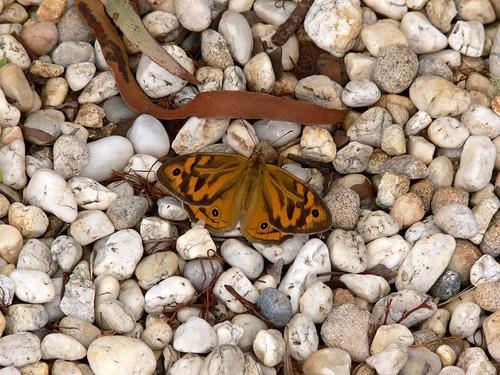 Butterfly - Wingecarribee Dam