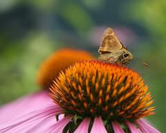 Portland (Tony Pulokas) Tags: summer flower oregon butterfly garden insect portland bokeh skipper peregrino27newvision