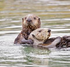 Sea Otter and Pup (J Gilbert) Tags: california otter seaotter elkhornslough enhydra naturesfinest enhydralutris animalkingdomelite impressedbeauty vosplusbellesphotos